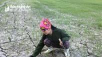 Gần 1.000 ha lúa hè thu ở Hưng Nguyên có nguy cơ chết cháy
