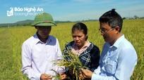 Nghệ An: Nhiều diện tích lúa hè thu lép hạt, mất trắng hoàn toàn