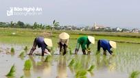 Có biện pháp chấm dứt tình trạng gieo cấy sớm trong vụ xuân 2020