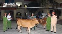 Liều lĩnh trộm trâu bò còn thuê taxi tải đến chở