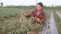 5 sào dưa hấu của nông dân ở Nghệ An bị phá hoại: Hành vi tàn nhẫn cần lên án!