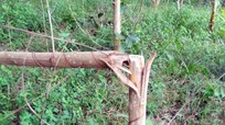 Một nông dân ở Nghệ An bị kẻ gian chặt phá vườn keo