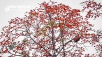 Đẹp ngỡ ngàng cây gạo đỏ rực có gần 30 đàn ong làm tổ ở Nghệ An