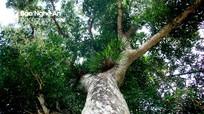 Cây quéo khổng lồ hơn 200 tuổi được xem thần hộ mệnh của bản