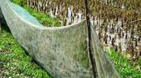 Giăng lưới bẫy châu chấu kiếm tiền triệu mỗi ngày