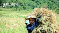 Nông dân xã biên giới đội nắng đi gặt muộn