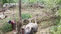 Nghệ An: Trâu chết do lũ đổ về nhà máy thủy điện đang thi công