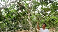 Gặp mưa axit, đặc sản bưởi Hồng Quang Tiến mất mùa thảm hại