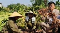Ồ ạt trồng nghệ, nông dân xứ Nghệ thất thu