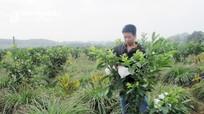 Nông dân Nghệ An chia sẻ bí quyết trồng ổi cho quả quanh năm