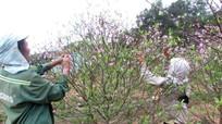 Thu hơn 20 tỷ đồng nhờ cây đào dịp Tết, người dân Kim Thành phấn khởi bước vào mùa vụ mới