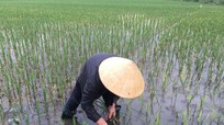 'Mưa vàng' cứu nhiều diện tích cây trồng ở Nghệ An