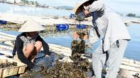 Nông dân Nghệ An thu hoạch con hàu biển lãi ngót trăm triệu/hộ