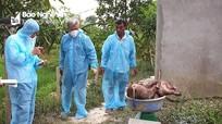 Nam Đàn tái bùng phát dịch tả lợn sau 40 ngày công bố hết dịch