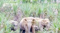 Xuất hiện cặp voi rừng phá hoa màu của người dân ở Nghệ An