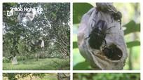 Hàng chục tấn cam ở Quỳnh Lưu bị rụng do côn trùng chích hút