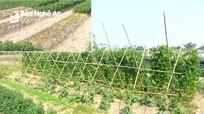 Người trồng hoa Quỳnh Lưu khả năng 'mất Tết' vì thời tiết