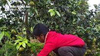 Nghệ An: Quýt 2.000 đ/kg vẫn không bán được, đành để rụng đầy vườn