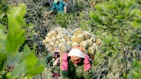 Nông dân Nghệ An vật vã chống nóng cho dứa 'nữ hoàng'