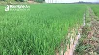 Mưa 'vàng' giải nhiệt, cứu 1.500 ha lúa khô hạn ở Đô Lương