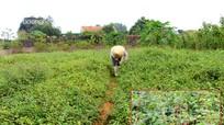 Nắng nóng, làng trồng cây 'giải nhiệt' ở Nghệ An thu nhập bộn tiền