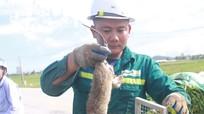 Mỗi ngày có hàng tạ chuột đồng ở Nghệ An vào các nhà hàng ở Hà Nội