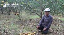 Đặc sản cam Nghệ An rụng hàng loạt sau mưa lũ