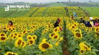 Cánh đồng hoa hướng dương tuyệt đẹp ở Nghệ An chuẩn bị khoe sắc