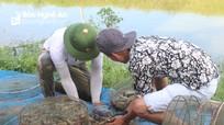 Vượt qua giá rét, nông dân Nghệ An thắng lợi vụ tôm