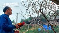 Bán đào đá trồng trong nương rẫy, người dân miền Tây Nghệ An kiếm chục triệu mỗi ngày