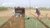 Nhiều diện tích hành hoa ở Nghệ An hư hỏng nặng do sâu bệnh