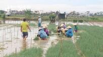 Nông dân Nghệ An thu hoạch rau màu chạy bão Conson