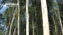 Doanh nghiệp tiên phong trong chiến lược trồng rừng gỗ lớn ở Nghệ An