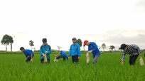 Nghệ An: Đoàn viên thanh niên đồng loạt xuống đồng bắt diệt ốc bươu vàng