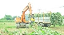 Bán được giá, nông dân Nghệ An đồng loạt thu hoạch ngô sinh khối