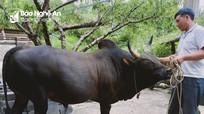 Nghề nuôi bò chọi giá hàng nghìn đô của người Mông Nghệ An