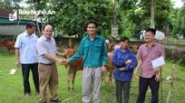Hỗ trợ bò giống cho hộ nghèo ở Quỳ Châu