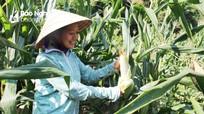 Nông dân thu 60 triệu/ha từ trồng ngô nếp trên đất bãi, vệ