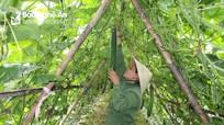 Nông dân Anh Sơn cấp tập thu hoạch bí xanh chạy bão