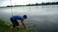 Nông dân xuống đồng vớt bèo cứu lúa sau mưa lũ