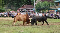 Người Mông vui hội chọi bò trong ngày Tết Độc lập