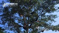 Nghệ An: Kỳ lạ cây gạo có 30 đàn ong mật làm tổ
