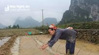 Giải pháp chống rét cho mạ của nông dân miền núi Nghệ An