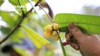 Mùa thu hái loài hoa 'quý như vàng' ở miền Tây Nghệ An