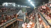 Trứng gà ở Nghệ An rớt giá thê thảm