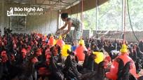 Thức ăn chăn nuôi tăng giá chóng mặt, nông dân gặp khó khăn 'kép'