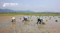 Nghệ An: Thợ cấy khan hiếm, giá cao cũng khó thuê người