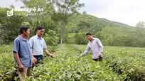 Nông dân và doanh nghiệp Nghệ An 'chia khó'  tiêu thụ chè 'mùa dịch'