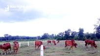 Nông dân Nghệ An thầu ruộng xấu, chăm cỏ dại nuôi bò