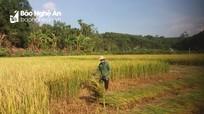 Người dân Nghệ An góp ngày công, giúp gia đình cách ly thu hoạch nông sản